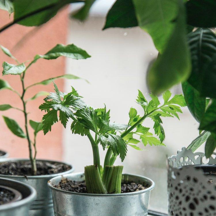 selderijsap - de gezondheidsvoordelen